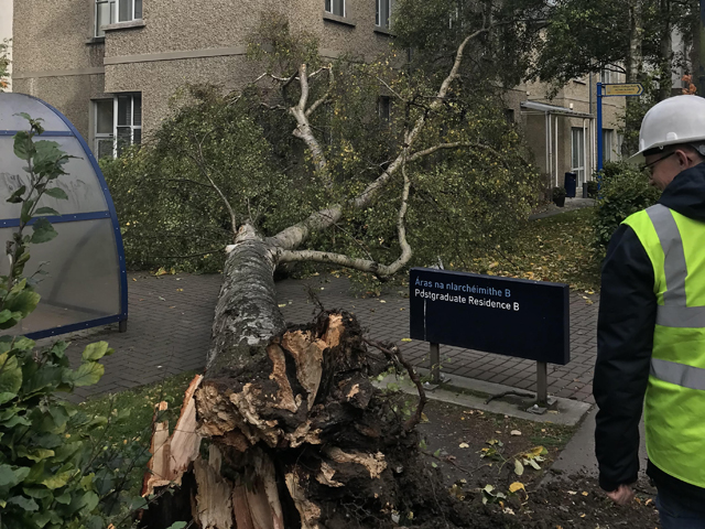 Fallen tree which caused minor damage to the Bea Orpen building in DCU. Credit: Declan Raftery