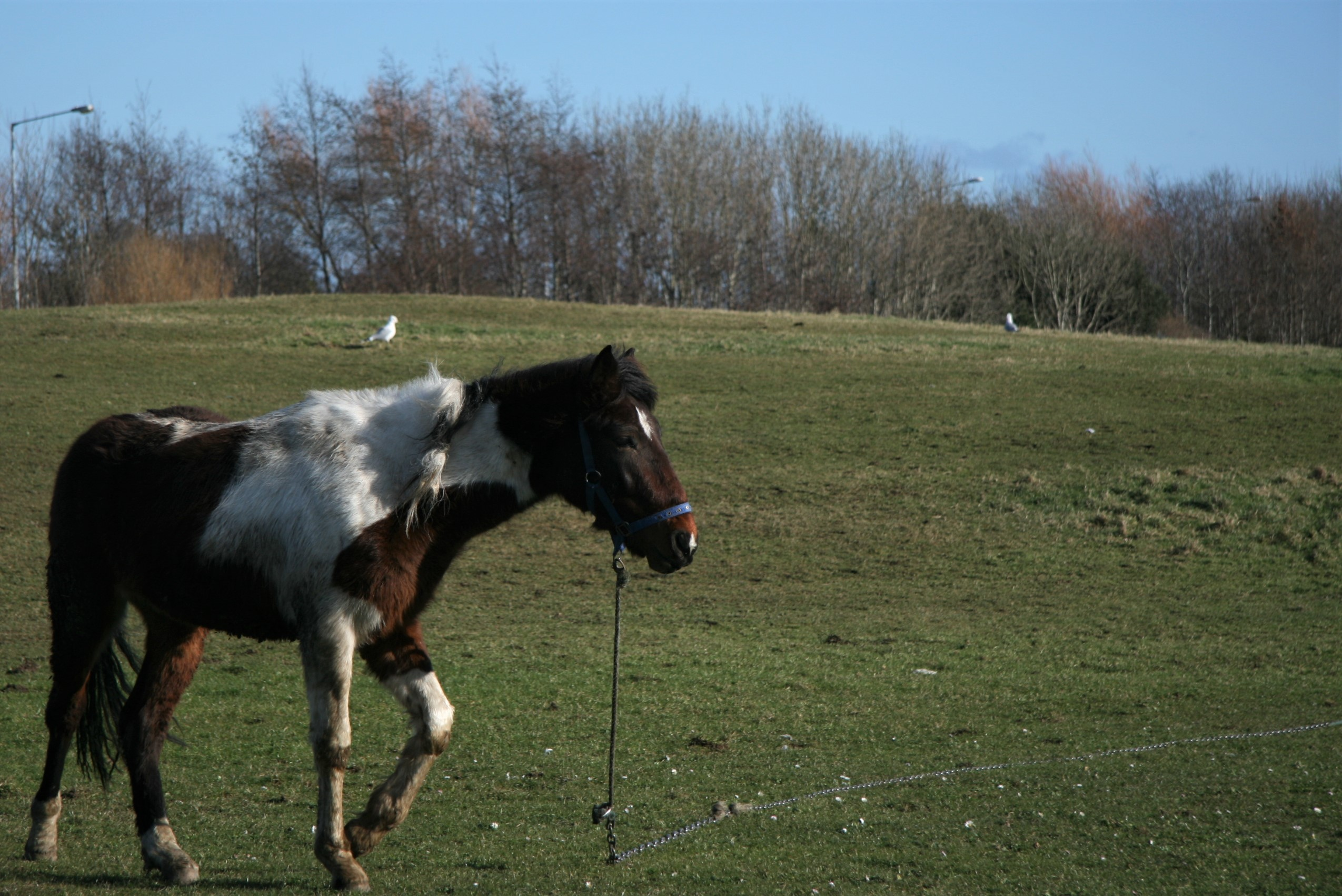 A horse, tied to a chain, wanders aimlessly and listlessly at a Darndale park, with no company, or water in sight.